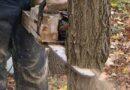 Інформує прокуратура. За незаконну порубку дерев – кримінальна відповідальність